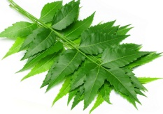 NEEM-LEAVES-3